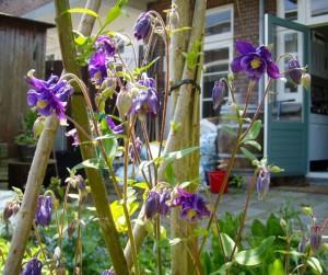 Akelei in mijn tuin